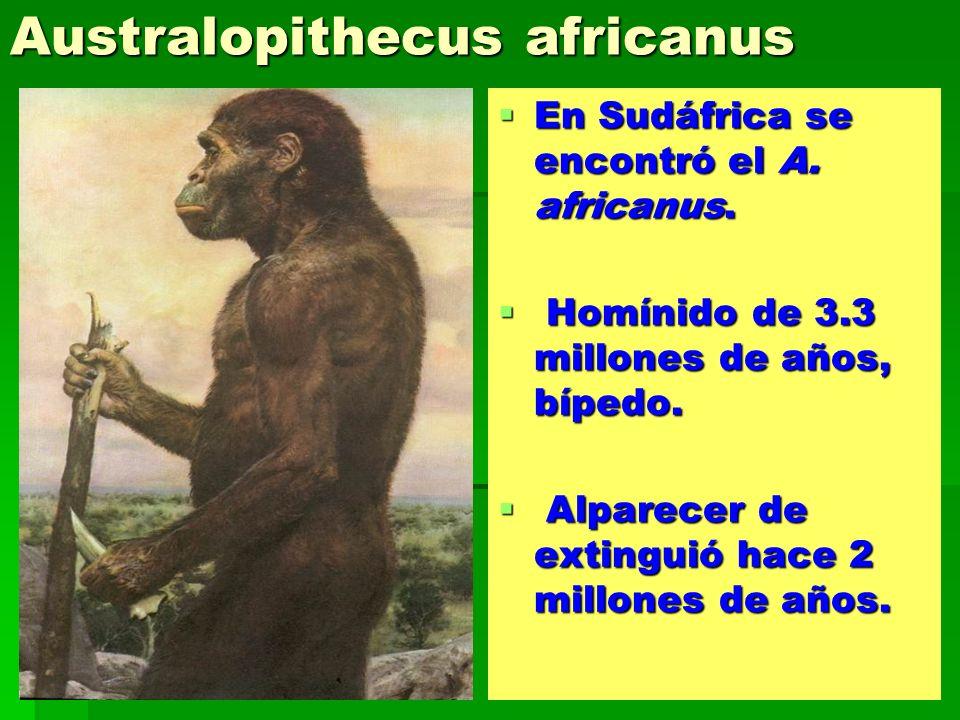Australopithecus africanus En Sudáfrica se encontró el A. africanus. En Sudáfrica se encontró el A. africanus. Homínido de 3.3 millones de años, bíped