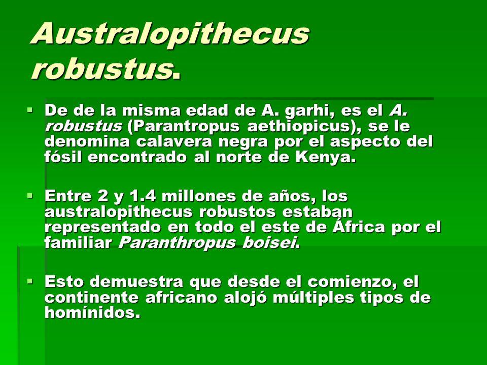 Australopithecus robustus. De de la misma edad de A. garhi, es el A. robustus (Parantropus aethiopicus), se le denomina calavera negra por el aspecto