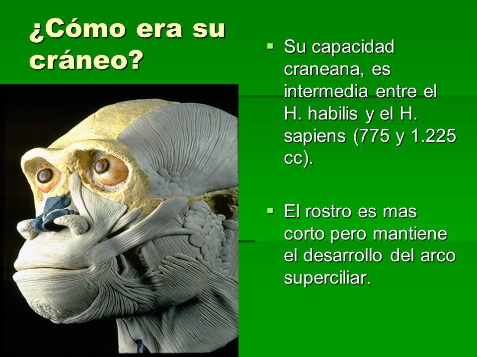 ¿Cómo era su cráneo? Su capacidad craneana, es intermedia entre el H. habilis y el H. sapiens (775 y 1.225 cc). Su capacidad craneana, es intermedia e