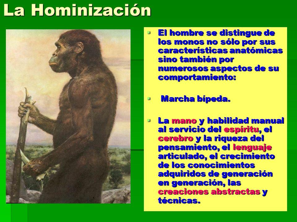 La Hominización El hombre se distingue de los monos no sólo por sus características anatómicas sino también por numerosos aspectos de su comportamient