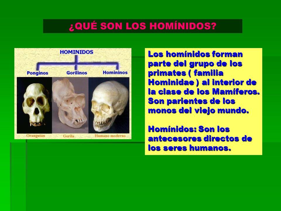 Los homínidos forman parte del grupo de los primates ( familia Hominidae ) al interior de la clase de los Mamíferos. Son parientes de los monos del vi
