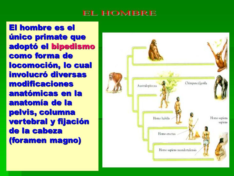 El hombre es el único primate que adoptó el bipedismo como forma de locomoción, lo cual involucró diversas modificaciones anatómicas en la anatomía de