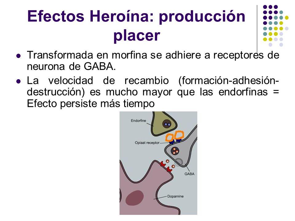 Efectos Heroína: producción placer Transformada en morfina se adhiere a receptores de neurona de GABA. La velocidad de recambio (formación-adhesión- d