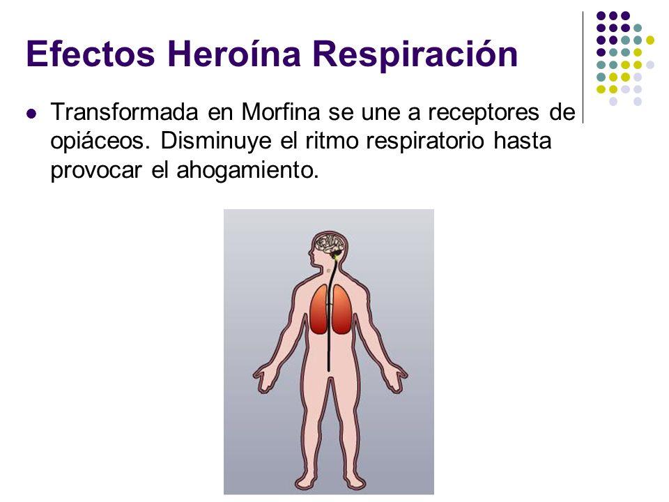 Efectos Heroína Respiración Transformada en Morfina se une a receptores de opiáceos. Disminuye el ritmo respiratorio hasta provocar el ahogamiento.