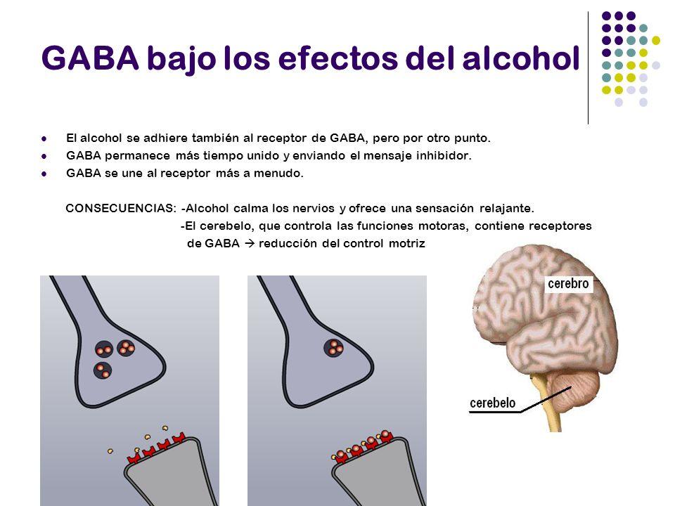 GABA bajo los efectos del alcohol El alcohol se adhiere también al receptor de GABA, pero por otro punto. GABA permanece más tiempo unido y enviando e