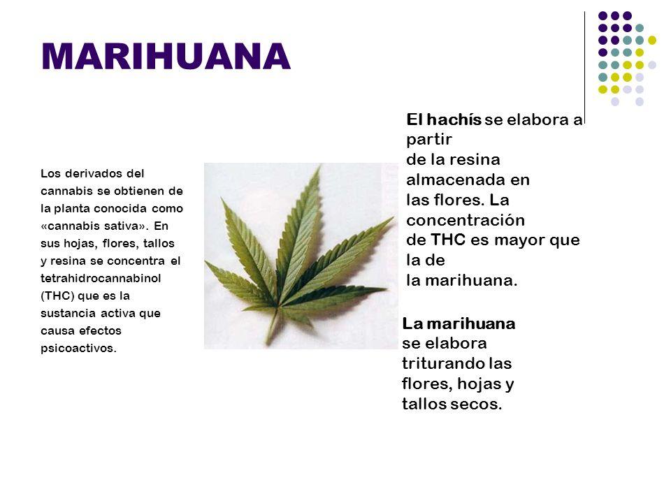 MARIHUANA Los derivados del cannabis se obtienen de la planta conocida como «cannabis sativa». En sus hojas, flores, tallos y resina se concentra el t