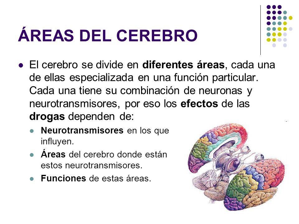 ÁREAS DEL CEREBRO El cerebro se divide en diferentes áreas, cada una de ellas especializada en una función particular. Cada una tiene su combinación d
