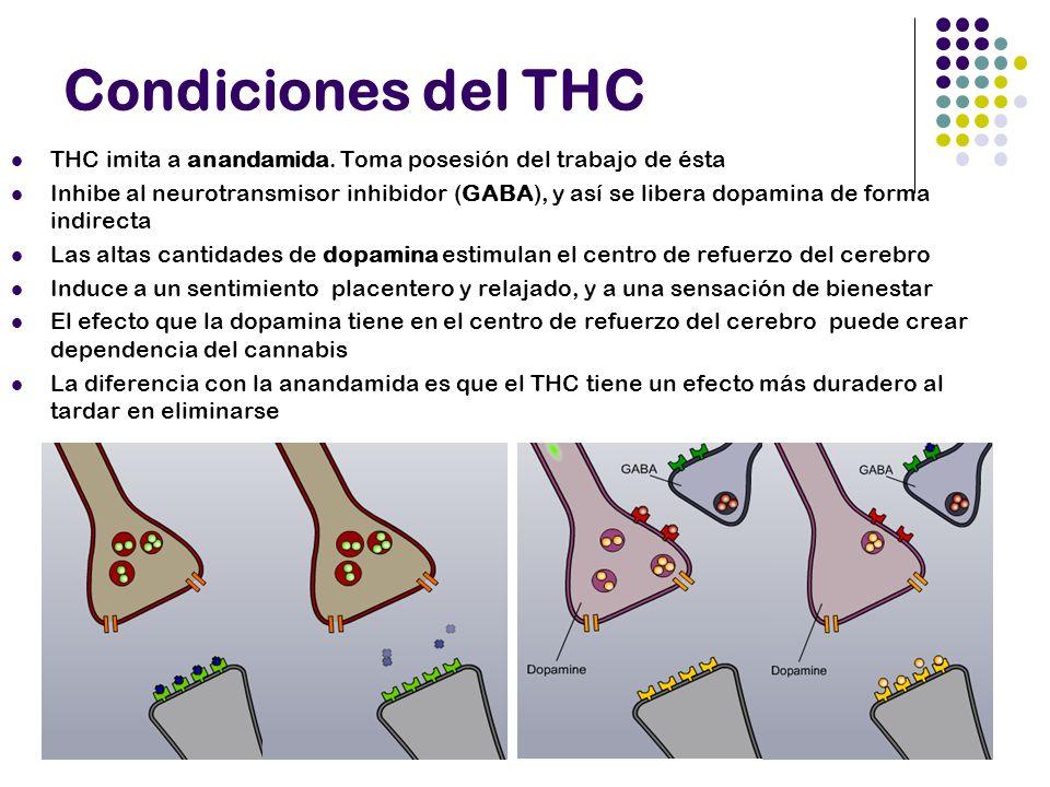 Condiciones del THC THC imita a anandamida. Toma posesión del trabajo de ésta Inhibe al neurotransmisor inhibidor (GABA), y así se libera dopamina de