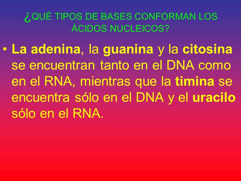 ¿ QUÉ TIPOS DE BASES CONFORMAN LOS ÁCIDOS NUCLEICOS? La adenina, la guanina y la citosina se encuentran tanto en el DNA como en el RNA, mientras que l