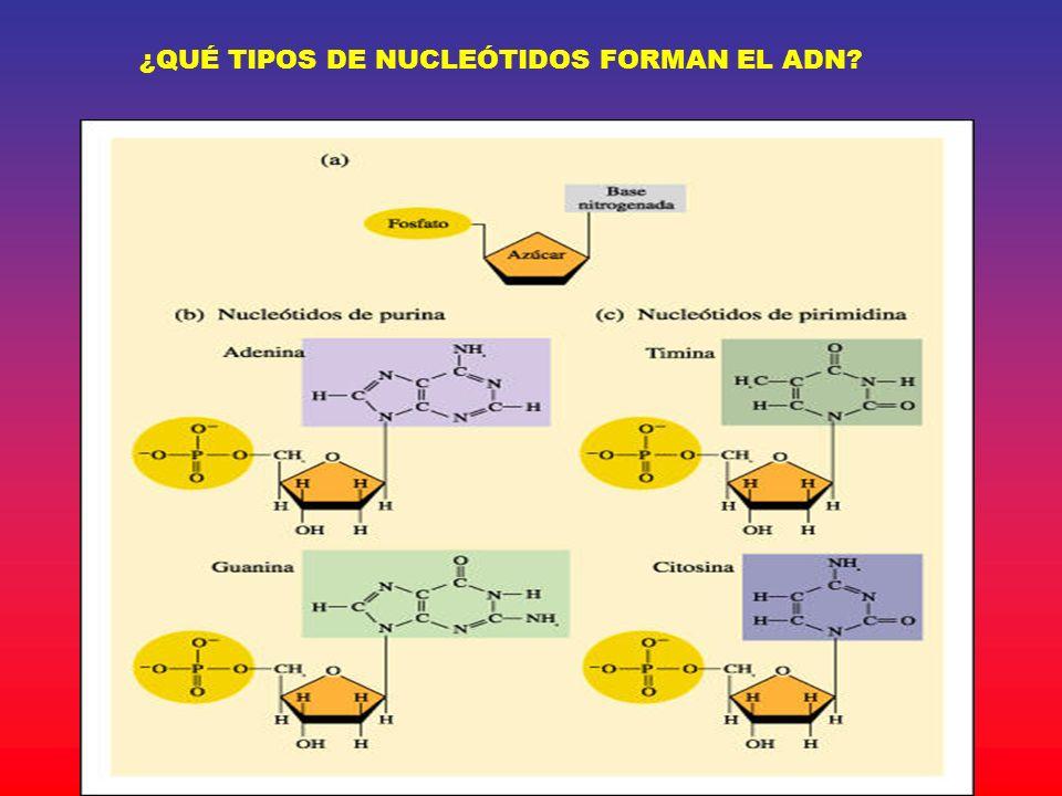 ¿QUÉ TIPOS DE NUCLEÓTIDOS FORMAN EL ADN?