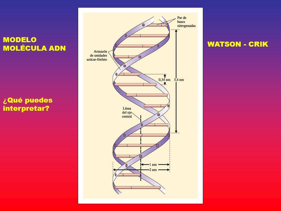 MODELO MOLÉCULA ADN WATSON - CRIK ¿ Qué puedes interpretar?