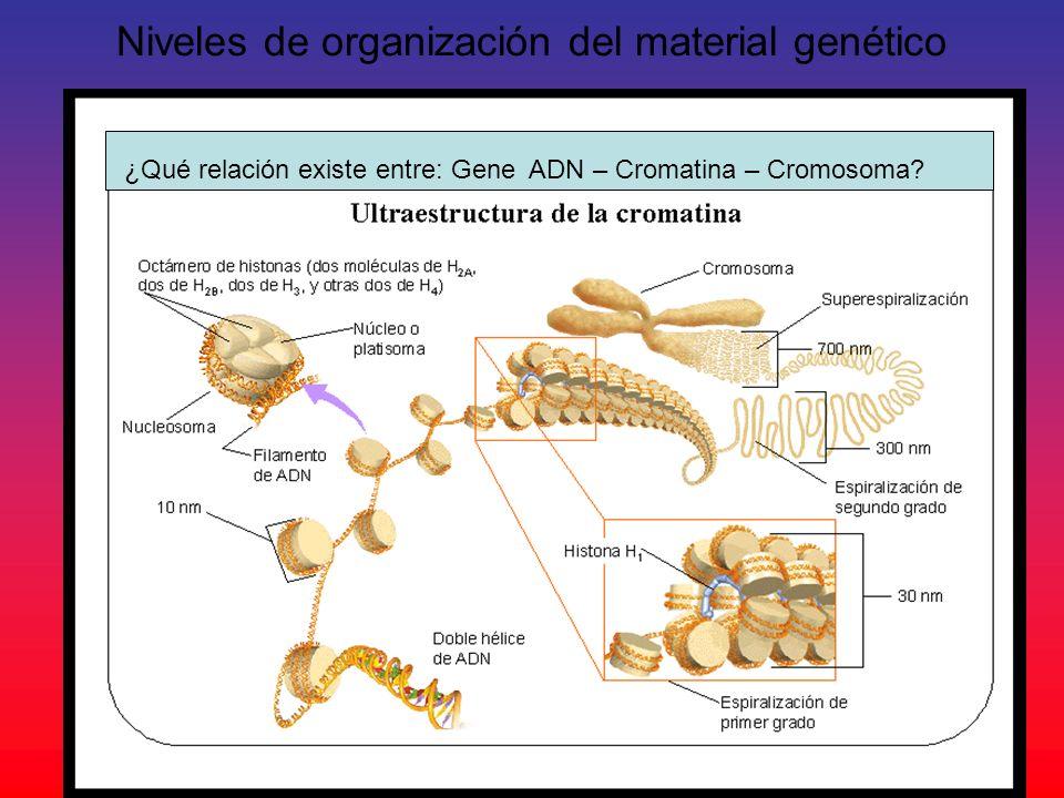 Niveles de organización del material genético ¿Qué relación existe entre: Gene ADN – Cromatina – Cromosoma?