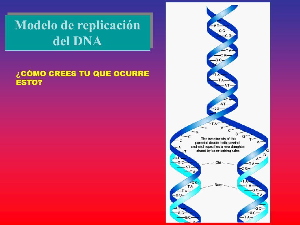 Modelo de replicación del DNA ¿ CÓMO CREES TU QUE OCURRE ESTO?