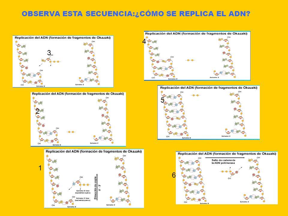 OBSERVA ESTA SECUENCIA:¿CÓMO SE REPLICA EL ADN? 1 2 3 4 5 6