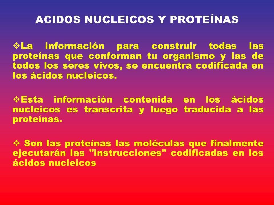 ACIDOS NUCLEICOS Y PROTEÍNAS La información para construir todas las proteínas que conforman tu organismo y las de todos los seres vivos, se encuentra