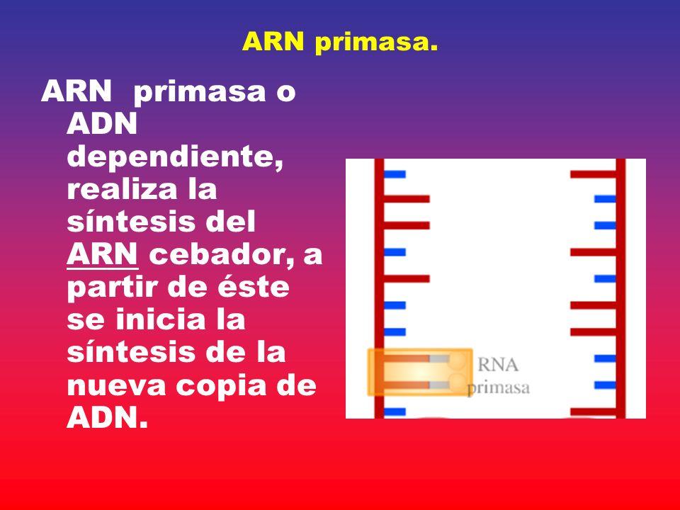 ARN primasa. ARN primasa o ADN dependiente, realiza la síntesis del ARN cebador, a partir de éste se inicia la síntesis de la nueva copia de ADN.