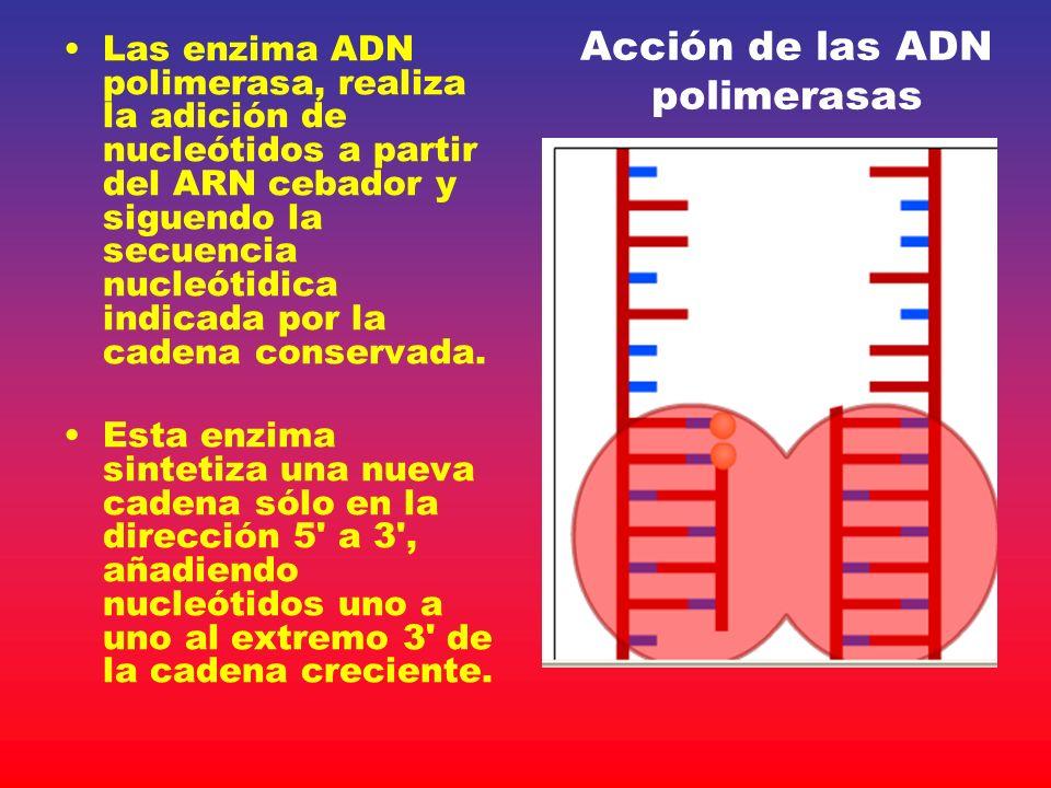 Acción de las ADN polimerasas Las enzima ADN polimerasa, realiza la adición de nucleótidos a partir del ARN cebador y siguendo la secuencia nucleótidi