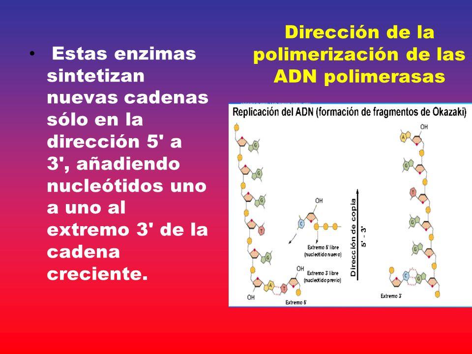 Dirección de la polimerización de las ADN polimerasas Estas enzimas sintetizan nuevas cadenas sólo en la dirección 5' a 3', añadiendo nucleótidos uno