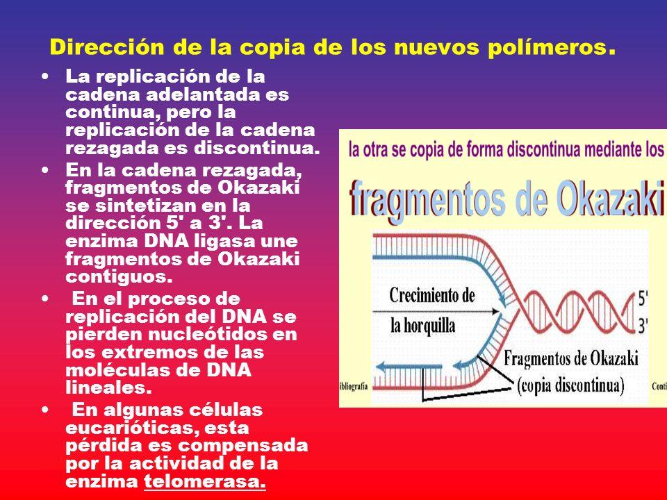Dirección de la copia de los nuevos polímeros. La replicación de la cadena adelantada es continua, pero la replicación de la cadena rezagada es discon