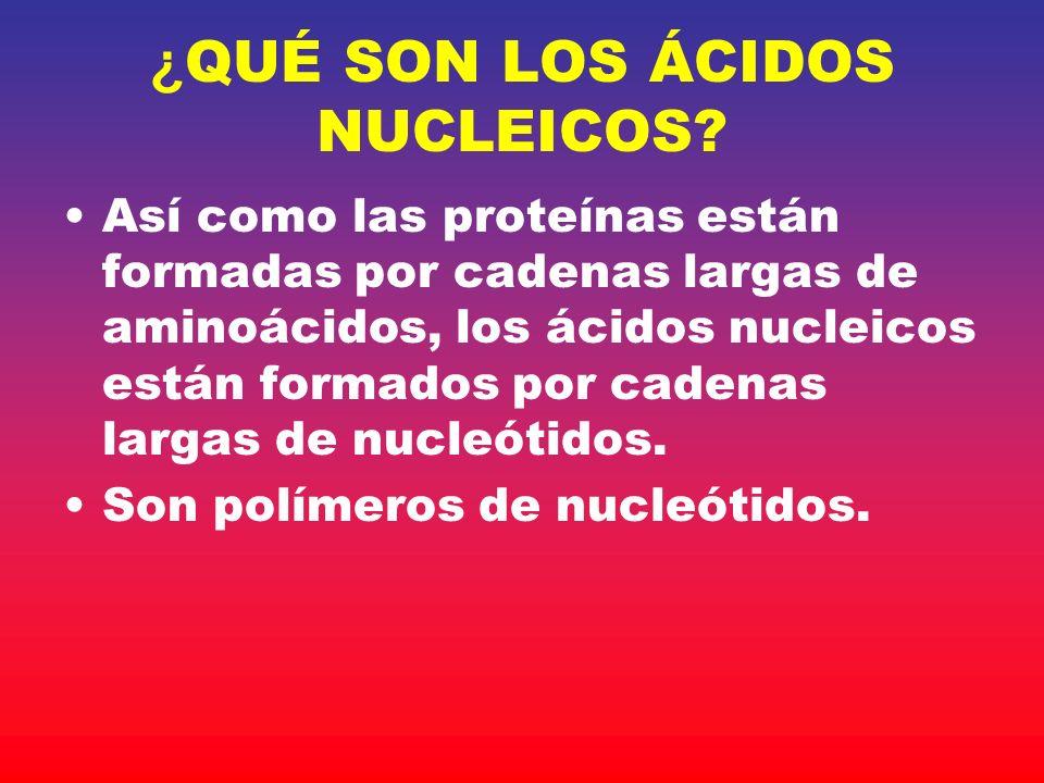 ¿ QUÉ SON LOS ÁCIDOS NUCLEICOS? Así como las proteínas están formadas por cadenas largas de aminoácidos, los ácidos nucleicos están formados por caden