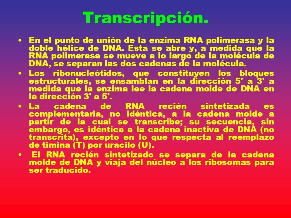 Transcripción. En el punto de unión de la enzima RNA polimerasa y la doble hélice de DNA. Esta se abre y, a medida que la RNA polimerasa se mueve a lo
