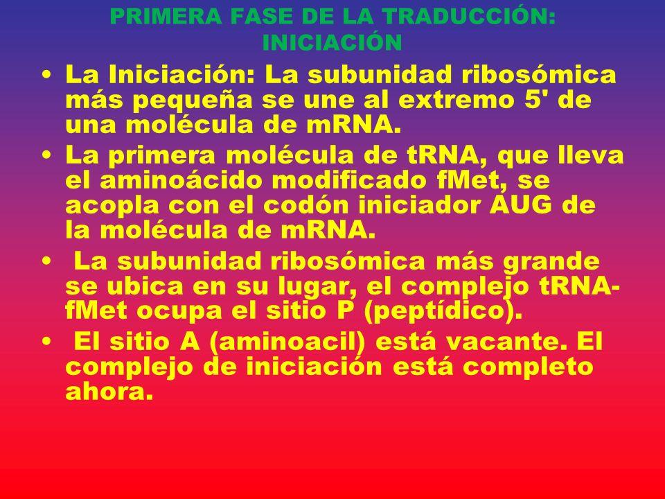 La Iniciación: La subunidad ribosómica más pequeña se une al extremo 5' de una molécula de mRNA. La primera molécula de tRNA, que lleva el aminoácido