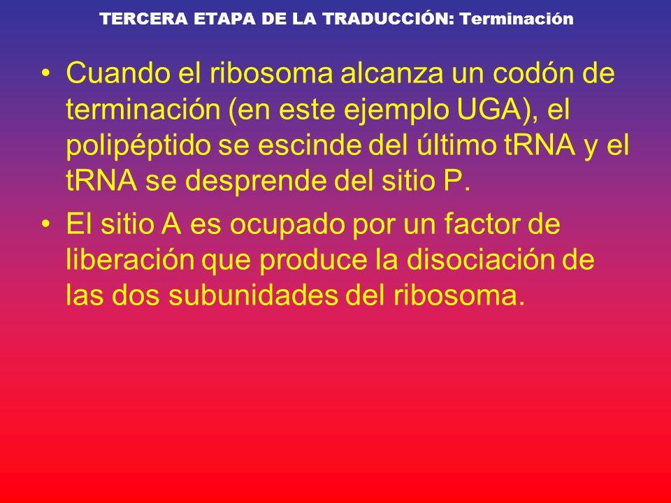 Cuando el ribosoma alcanza un codón de terminación (en este ejemplo UGA), el polipéptido se escinde del último tRNA y el tRNA se desprende del sitio P