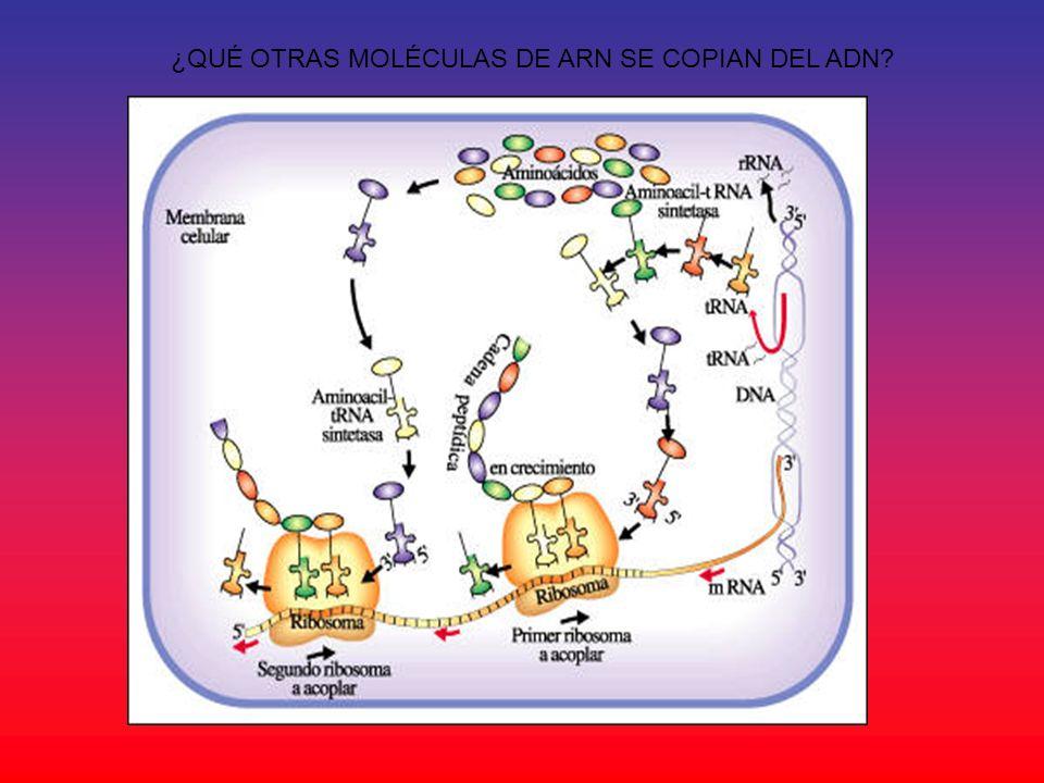 ¿QUÉ OTRAS MOLÉCULAS DE ARN SE COPIAN DEL ADN?