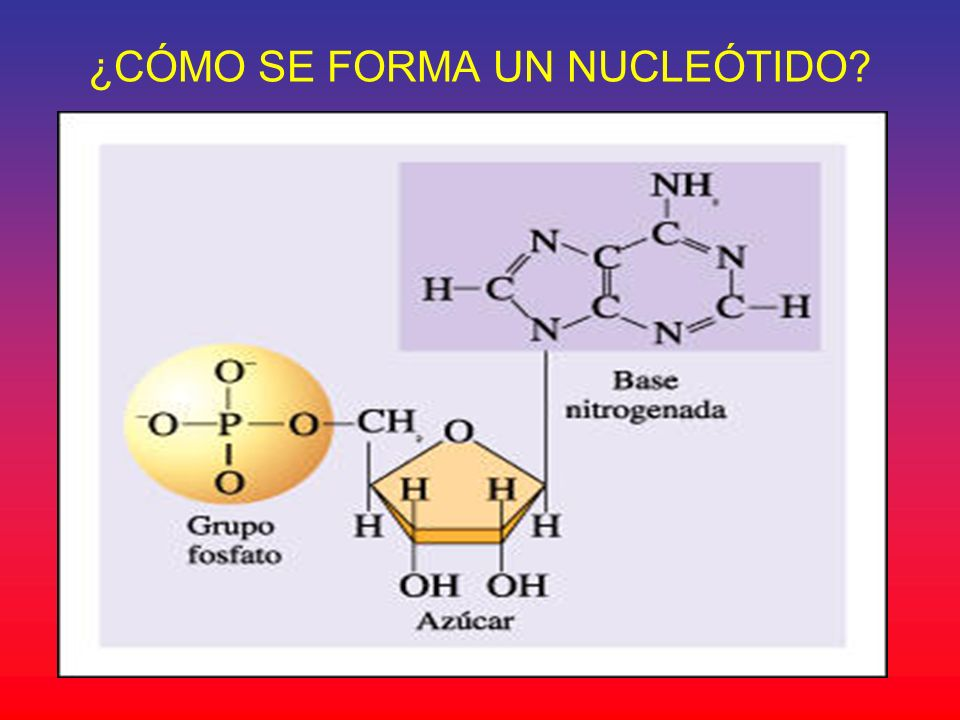¿CÓMO SE FORMA UN NUCLEÓTIDO?