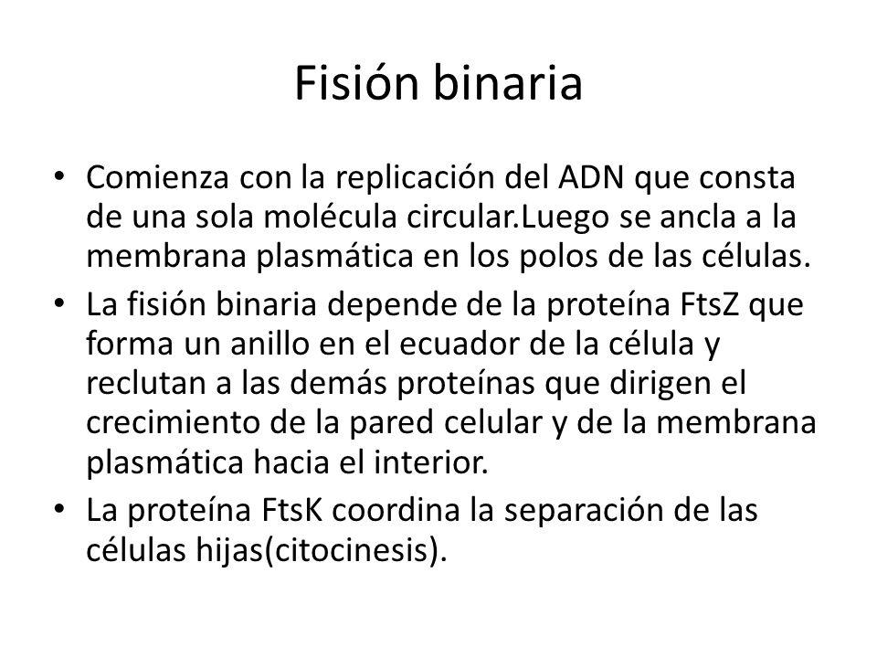 Fisión binaria Comienza con la replicación del ADN que consta de una sola molécula circular.Luego se ancla a la membrana plasmática en los polos de la