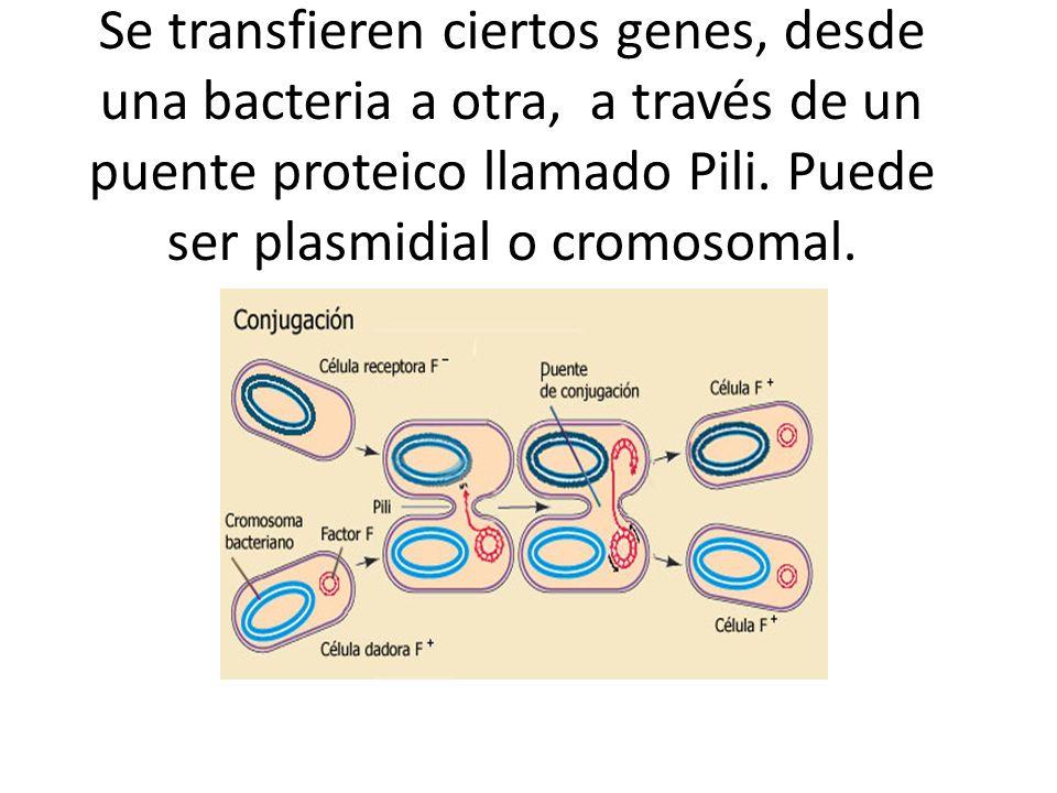 Se transfieren ciertos genes, desde una bacteria a otra, a través de un puente proteico llamado Pili. Puede ser plasmidial o cromosomal.