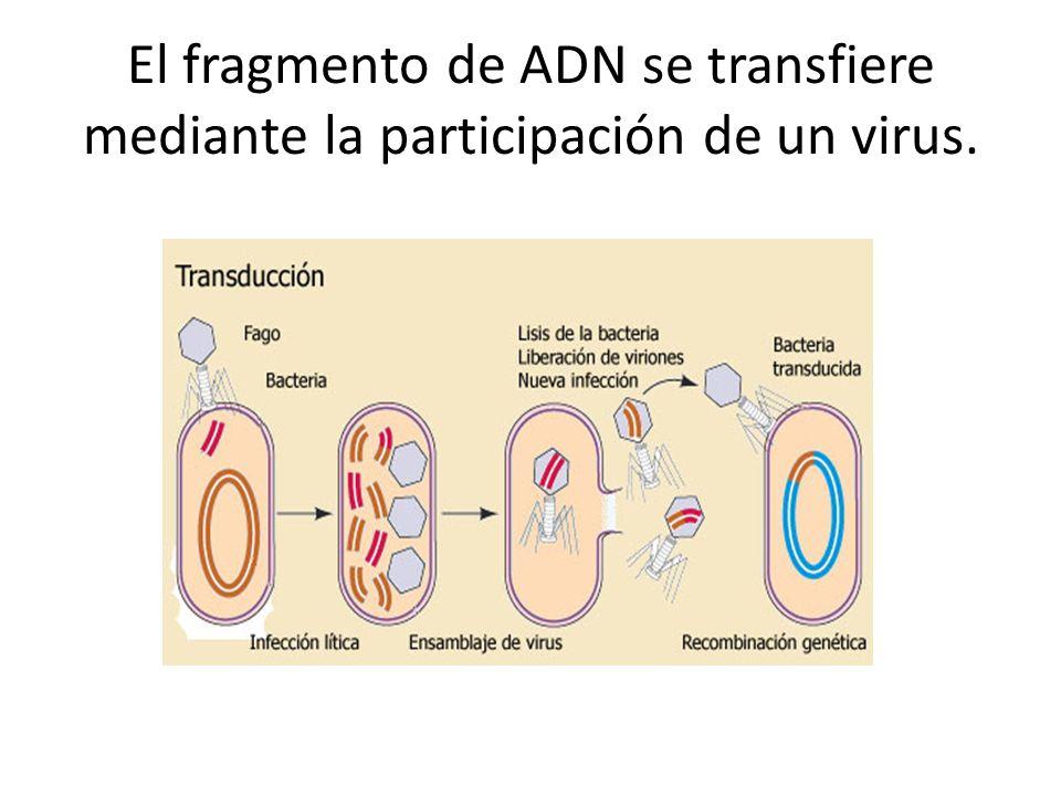 El fragmento de ADN se transfiere mediante la participación de un virus.