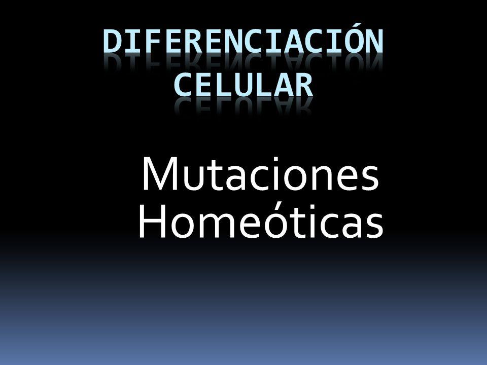 Mutaciones Homeóticas