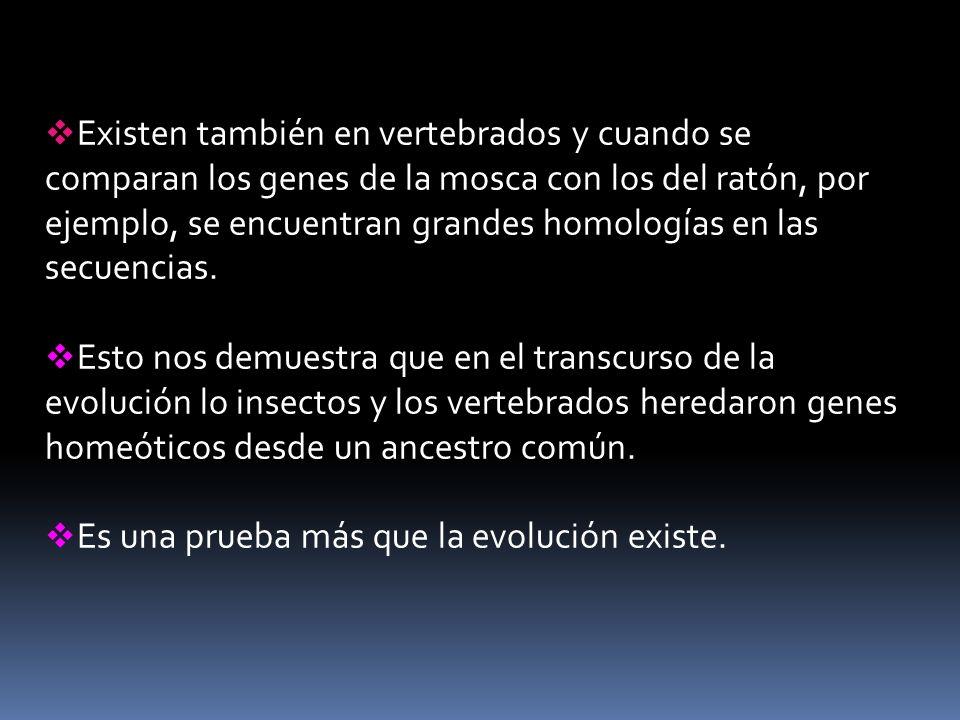 Existen también en vertebrados y cuando se comparan los genes de la mosca con los del ratón, por ejemplo, se encuentran grandes homologías en las secu
