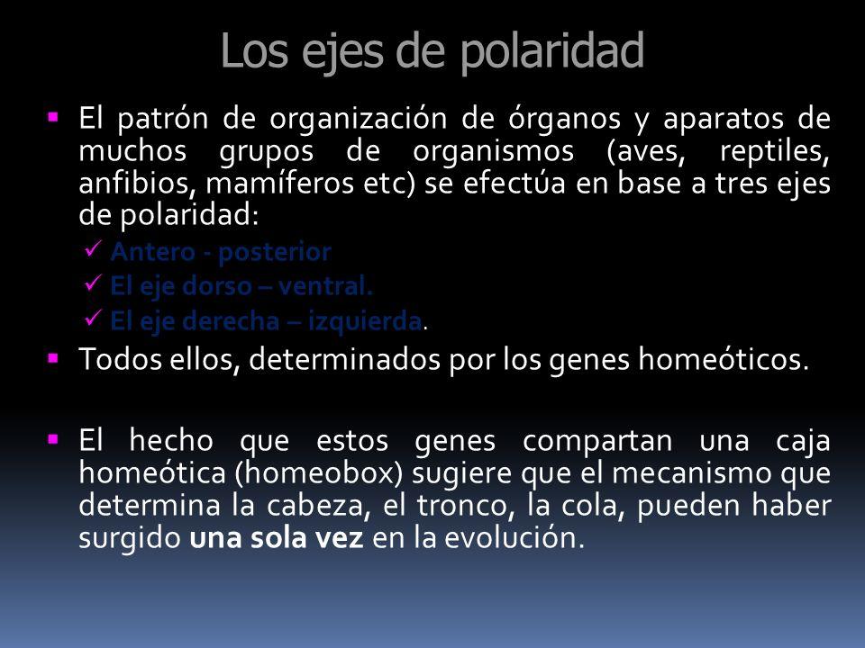 Los ejes de polaridad El patrón de organización de órganos y aparatos de muchos grupos de organismos (aves, reptiles, anfibios, mamíferos etc) se efec