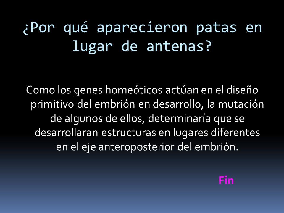 ¿Por qué aparecieron patas en lugar de antenas? Como los genes homeóticos actúan en el diseño primitivo del embrión en desarrollo, la mutación de algu