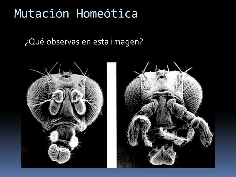 Mutación Homeótica ¿Qué observas en esta imagen?