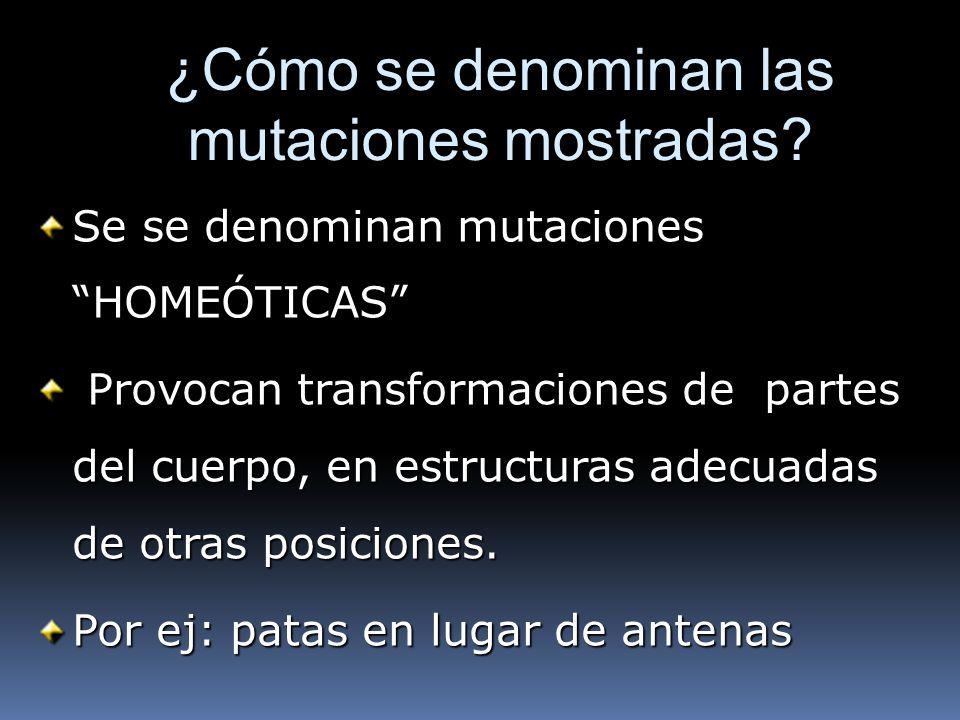 ¿Cómo se denominan las mutaciones mostradas? Se se denominan mutaciones HOMEÓTICAS Provocan transformaciones de partes del cuerpo, en estructuras adec