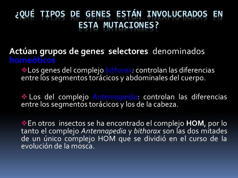 Actúan grupos de genes selectores denominados homeóticos Los genes del complejo bithorax: controlan las diferencias entre los segmentos torácicos y ab