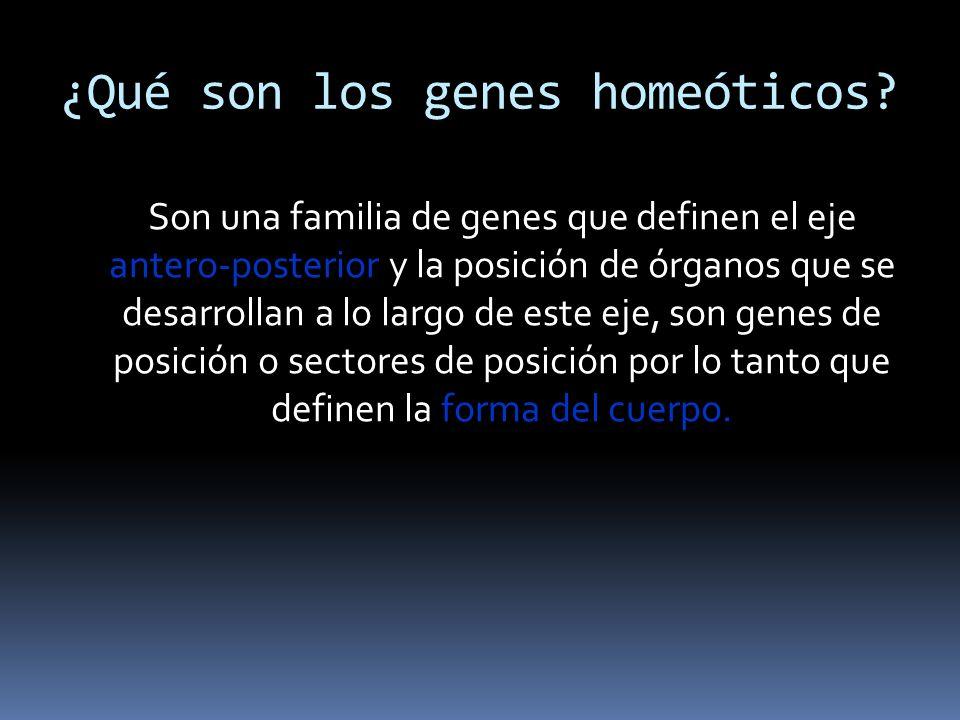 ¿Qué son los genes homeóticos? Son una familia de genes que definen el eje antero-posterior y la posición de órganos que se desarrollan a lo largo de