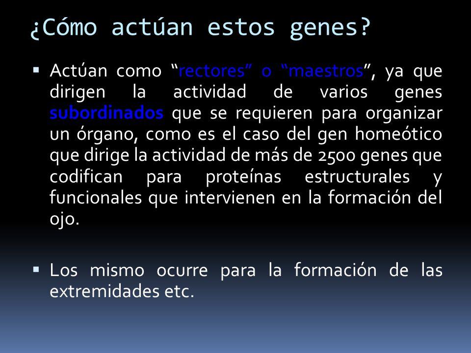 ¿Cómo actúan estos genes? Actúan como rectores o maestros, ya que dirigen la actividad de varios genes subordinados que se requieren para organizar un