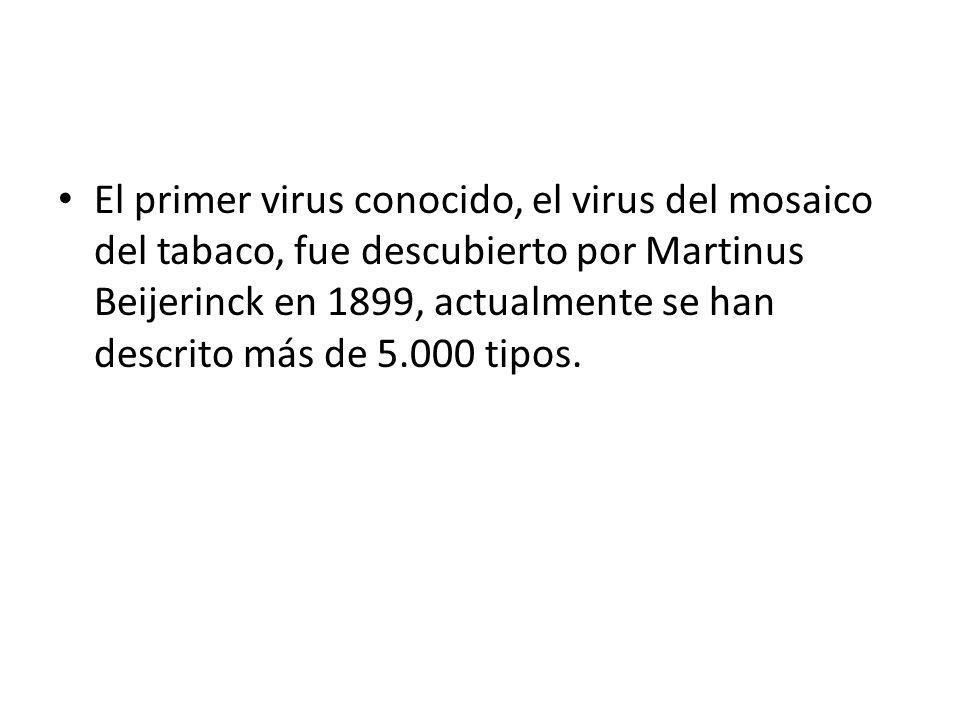Dañaba las cosechas de tabaco, no fue hasta 1930 que pudo determinarse que el agente infeccioso era un virus.