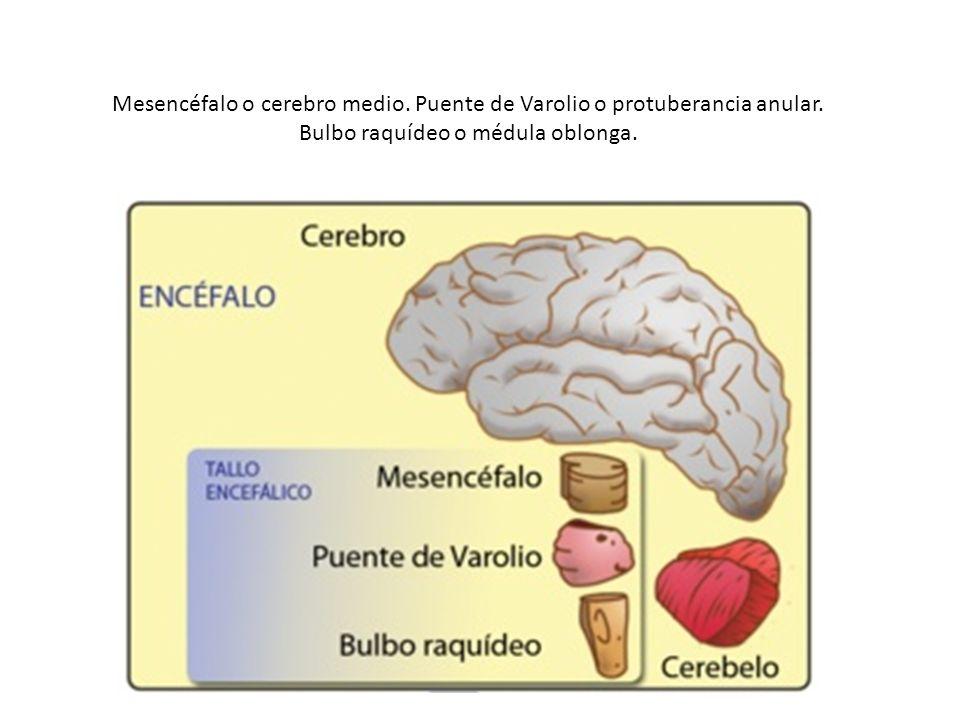 Mesencéfalo o cerebro medio. Puente de Varolio o protuberancia anular. Bulbo raquídeo o médula oblonga.