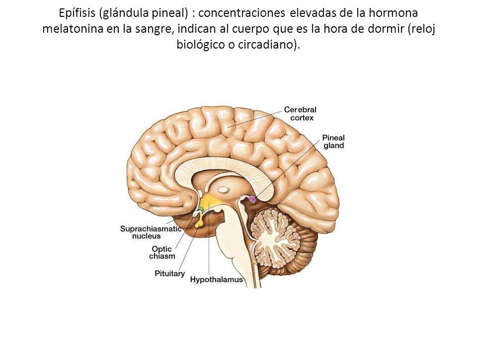 Epífisis (glándula pineal) : concentraciones elevadas de la hormona melatonina en la sangre, indican al cuerpo que es la hora de dormir (reloj biológi