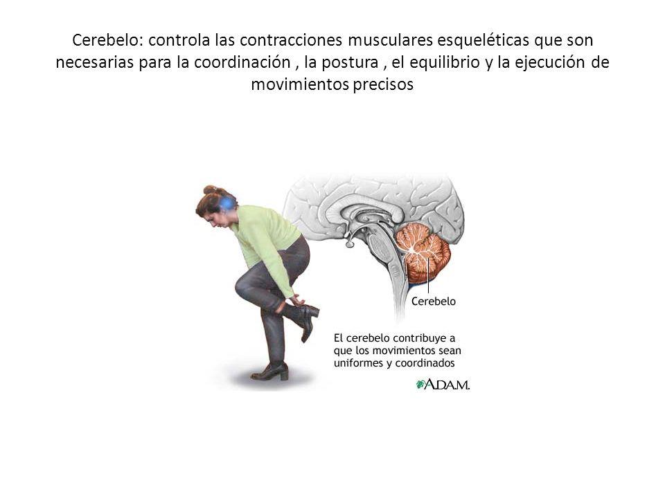 Cerebelo: controla las contracciones musculares esqueléticas que son necesarias para la coordinación, la postura, el equilibrio y la ejecución de movi