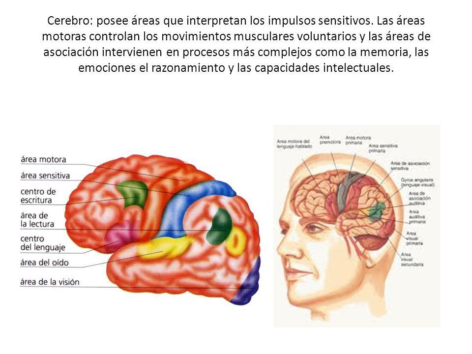 Cerebro: posee áreas que interpretan los impulsos sensitivos. Las áreas motoras controlan los movimientos musculares voluntarios y las áreas de asocia