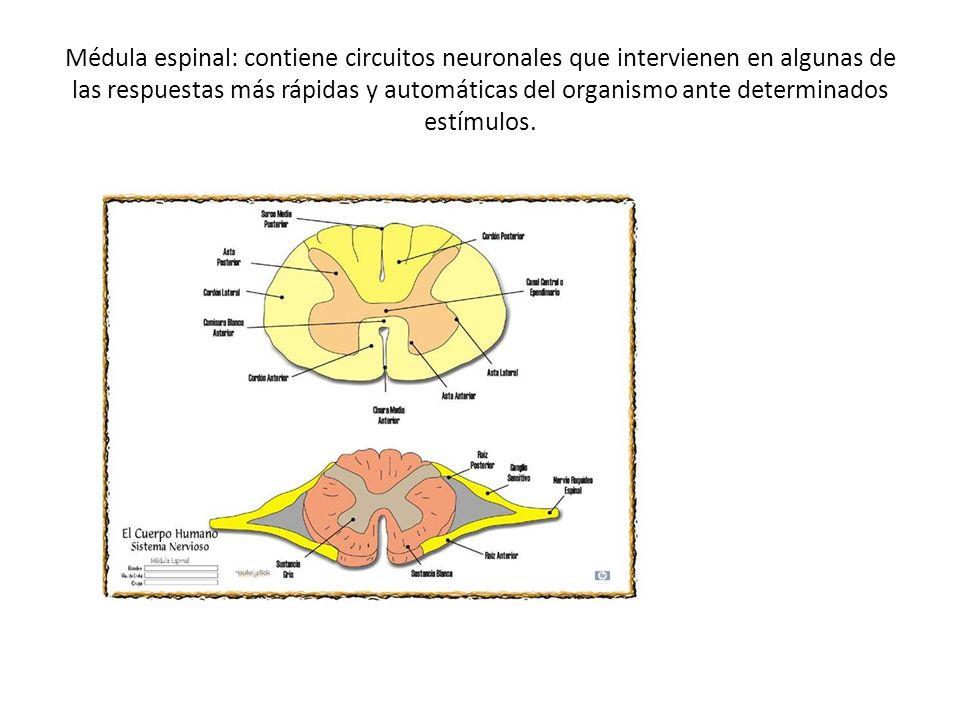 Médula espinal: contiene circuitos neuronales que intervienen en algunas de las respuestas más rápidas y automáticas del organismo ante determinados e