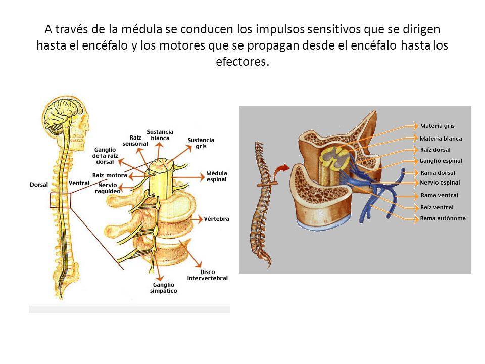 A través de la médula se conducen los impulsos sensitivos que se dirigen hasta el encéfalo y los motores que se propagan desde el encéfalo hasta los e