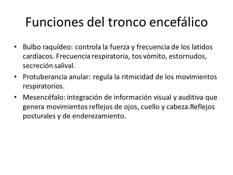 Funciones del tronco encefálico Bulbo raquídeo: controla la fuerza y frecuencia de los latidos cardíacos. Frecuencia respiratoria, tos vómito, estornu