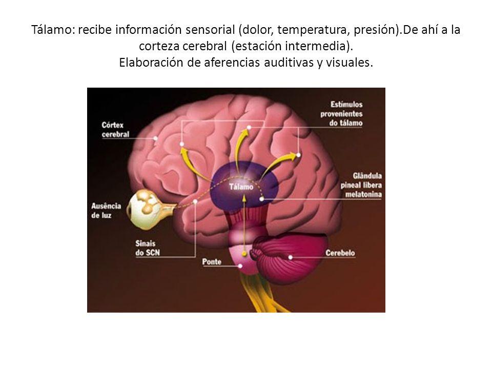 Tálamo: recibe información sensorial (dolor, temperatura, presión).De ahí a la corteza cerebral (estación intermedia). Elaboración de aferencias audit